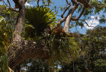 epiphyte: bromeliads growing on tree in rainforest