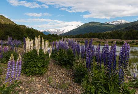 mount tronador: lupin flowers growing at Pampa Linda, Patagonia