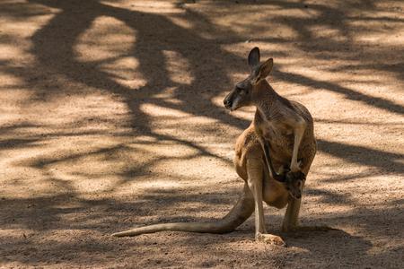 joey: female kangaroo with joey