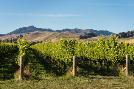 wither: vineyards at Wither Hills, Marlborough, New Zealand