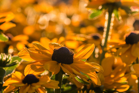 in bloom: yellow daisies in bloom Stock Photo