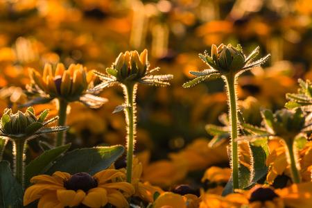 coneflowers: backlit rudbeckia flowers