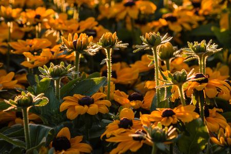 coneflowers: yellow flowers background