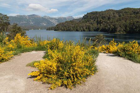 lake nahuel huapi: yellow ulex flowers at Correntoso lake in Argentina