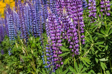 lupin: purple and blue lupin flowers Stock Photo