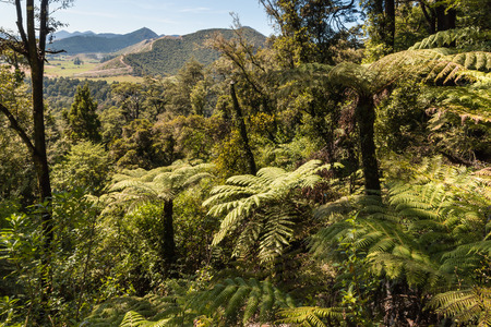 silver fern: silver ferns growing in forest in New Zealand Stock Photo