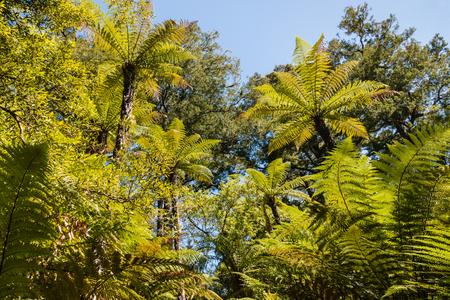 silver fern: silver fern trees foliage against blue sky