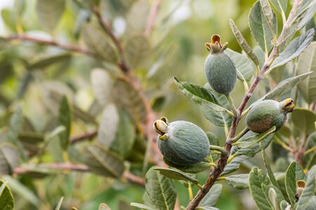 feijoa: feijoa tree with fruit