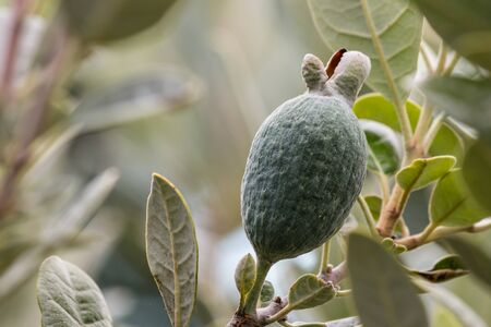 feijoa: closeup of feijoa fruit growing on tree Stock Photo