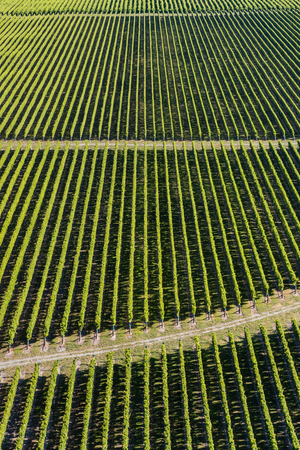 grapevine: aerial view of rows of grapevine in vineyard