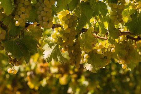 closeup of ripe Sauvignon blanc grapes
