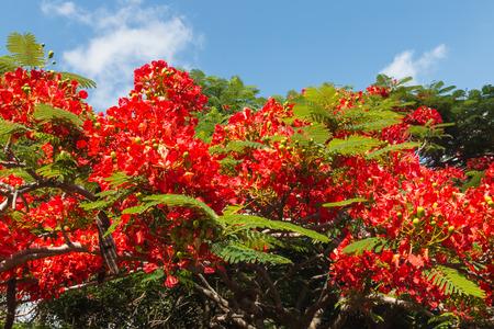acacia tree: acacia tree red flowers