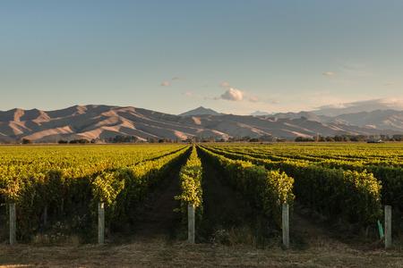 ニュージーランドのぶどう畑でぶどうの行 写真素材