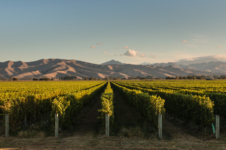 rows of vine in vineyard in New Zealand