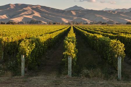 marlborough: vineyards in Marlborough in New Zealand