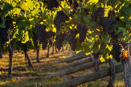 pinot: closeup of ripe pinot noir grapes