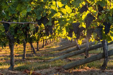 pinot noir: pinot noir grapes in vineyard
