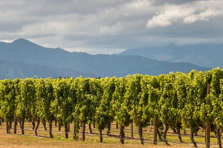 grapevine: sunlit grapevine rows in vineyard
