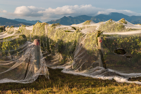 netting: grapevine in vineyard protected by netting Stock Photo