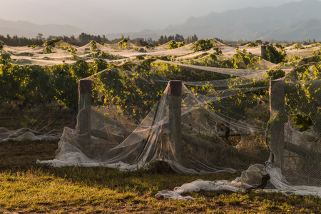 netting: rows of grapevine covered in netting
