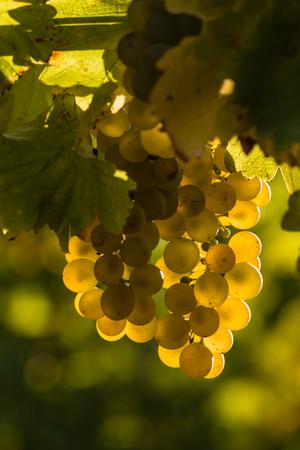 sauvignon: backlit Sauvignon blanc grapes Stock Photo