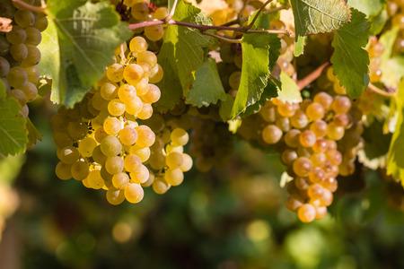 chardonnay: ripe chardonnay grapes on vine Stock Photo