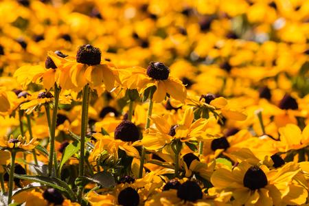 coneflowers: yellow rudbeckia flowers background Stock Photo