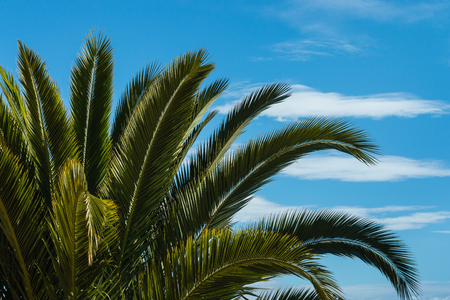 dactylifera: palm tree leaves against blue sky