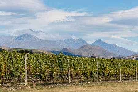 marlborough: vineyards in Marlborough, New Zealand