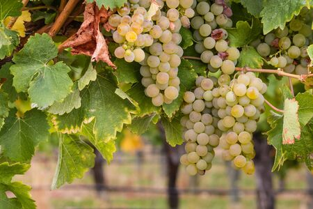 sauvignon blanc: white riesling grapes on vine in vineyard