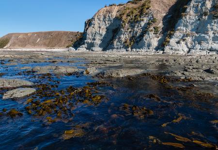kaikoura: giant kelp growing at Kaikoura coastline in New Zealand