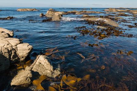 alga marina: gigante de algas flotando en el océano Foto de archivo