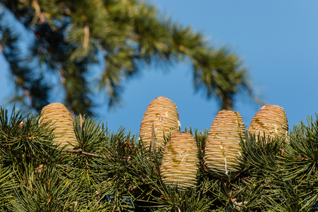 resin: korean fir cones with resin against blue sky Stock Photo