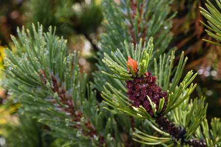 mugo: dwarf mountainpine needles with raindrops