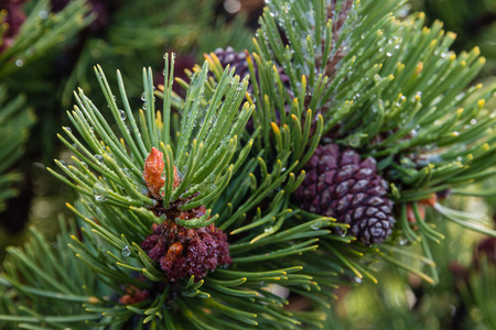 mugo: closeup of pine tree needles and cones