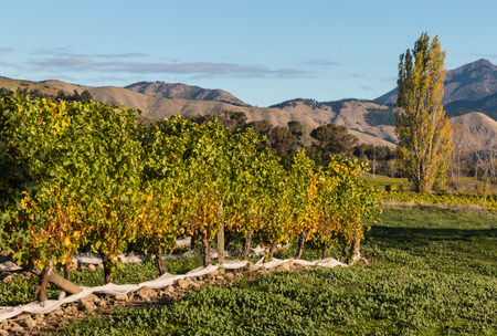 arbol alamo: viñedo con el árbol de álamo
