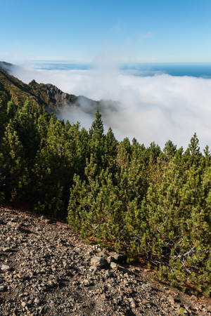 inversion: dwarf mountainpine forest in cloud inversion