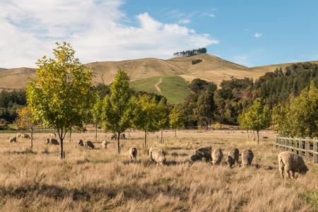 flock of merino sheep grazing in paddock 스톡 콘텐츠