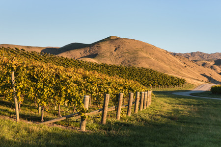 a slope: vineyards on slope in autumn Stock Photo