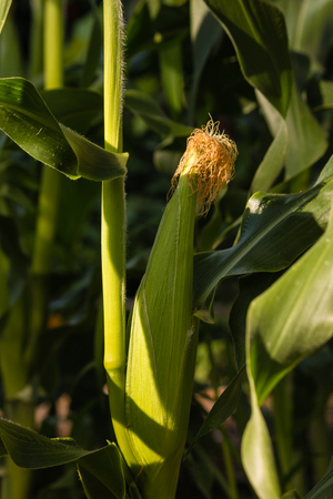 maize cultivation: corn cob growing in field