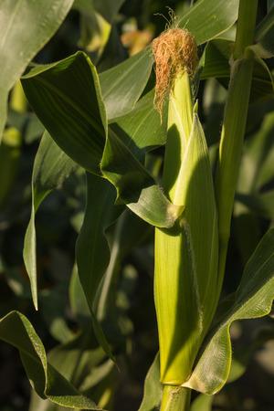 elote: Detalle de la creciente mazorca de maíz Foto de archivo