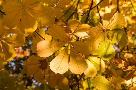 conker: closeup of yellow chestnut leaves in autumn