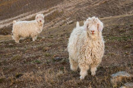 mohair: angora goats on grassy slope Stock Photo