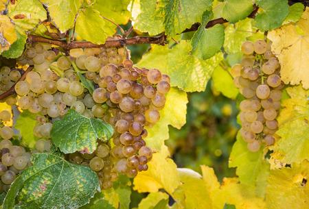 sauvignon blanc: ripe riesling grapes on vine