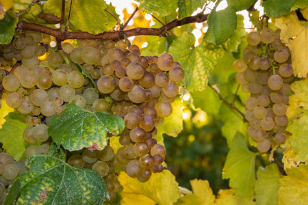 riesling: white riesling grapes on vine Stock Photo