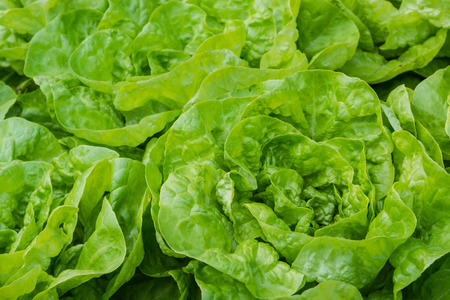 lactuca: closeup of fresh garden lettuce Stock Photo