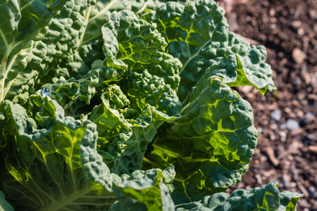 savoy: closeup of savoy cabbage leaves Stock Photo