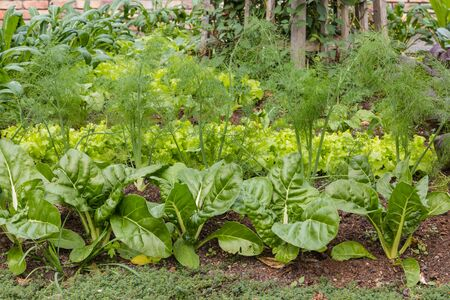 leafy: leafy vegetables in organic garden Stock Photo