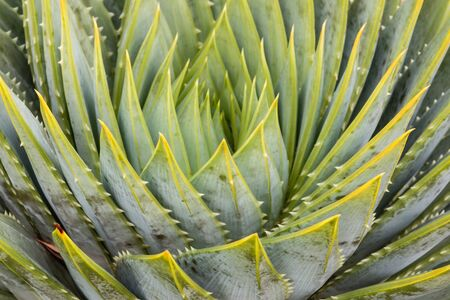 polyphylla: closeup of spiral aloe leaves Stock Photo