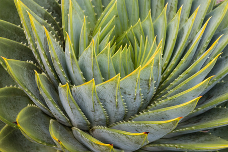 polyphylla: detail of spiral aloe leaves